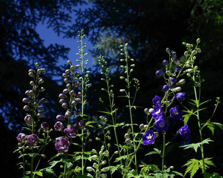 Aspen Wildflowers 8