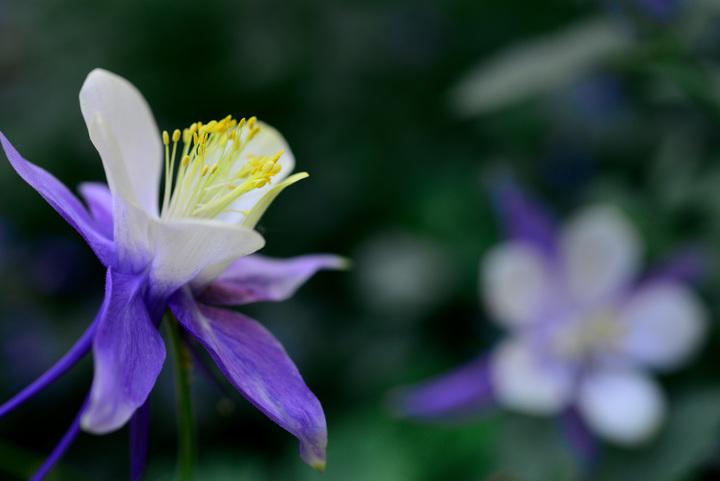 Aspen Wildflowers 10