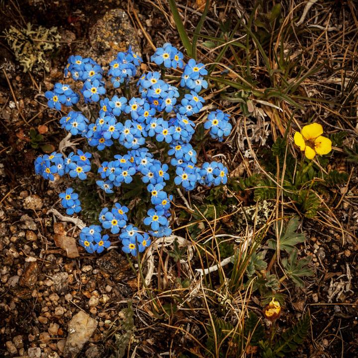 Aspen Wildflowers 12